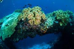 Plocka svamp läderkoraller i Banda, Indonesien det undervattens- fotoet Royaltyfri Fotografi