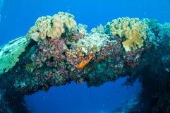 Plocka svamp läderkoraller i Banda, Indonesien det undervattens- fotoet Arkivfoto