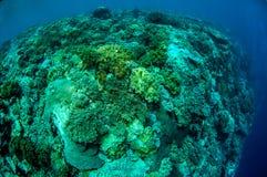 Plocka svamp läderkoraller i Banda, Indonesien det undervattens- fotoet Royaltyfria Bilder