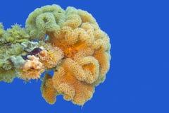 Plocka svamp läderkorall i det tropiska havet som är undervattens- Fotografering för Bildbyråer