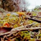 plocka svamp orangen arkivfoton