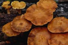 plocka svamp orangen Fotografering för Bildbyråer