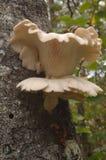 plocka svamp ostronen Fotografering för Bildbyråer
