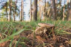Plocka svamp på en bakgrund av pinjeskogen för gräs och för högväxta träd Royaltyfri Fotografi