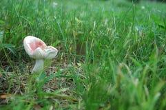 Plocka svamp på lawnen Fotografering för Bildbyråer