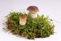 plocka svamp porcini Royaltyfri Fotografi