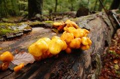 plocka svamp treen Royaltyfri Foto