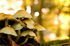 plocka svamp treestammen Arkivbilder