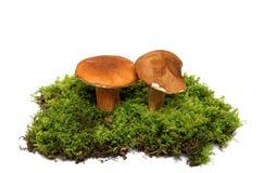 plocka svamp wild arkivfoton