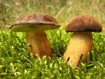 plocka svamp wild Fotografering för Bildbyråer