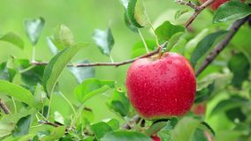 Plockningäpplen i äpplefruktträdgården arkivfilmer