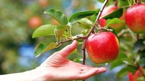 Plockningäpplen i äpplefruktträdgården stock video