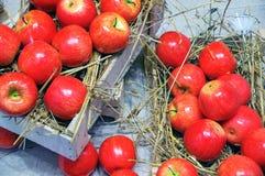 Plockning av äpplen royaltyfria foton
