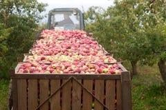 Plockning av äpplen i fruktträdgården Behållare med äpplen Lantlig stil, selektiv fokus Arkivfoto