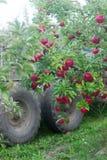 Plockning av äpplen i fruktträdgården Träd med mogna äpplen och en traktor Lantlig stil, selektiv fokus Arkivbilder