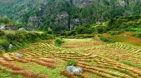 Plockning av bovetefältet på den Annapurna strömkretstreken, Royaltyfria Bilder