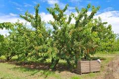 Plockning av frukt Fotografering för Bildbyråer