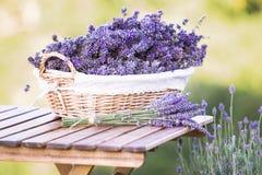 Plockning av lavendel Royaltyfri Fotografi