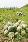 Plockning av mogna vattenmelon på melonfält Royaltyfri Foto