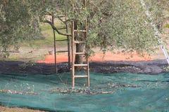 Plockning av oliv med stegar Royaltyfri Foto