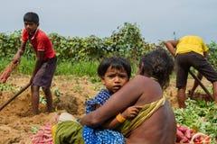 Plockning av sötpotatisar i Indien Royaltyfri Bild