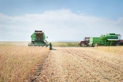 Plockning av soybönan Arkivfoto