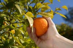 Plockning av tangerines Fotografering för Bildbyråer
