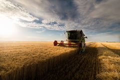Plockning av vetefält i sommar arkivbilder