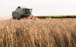 Plockning av vetefältet med sammanslutningen royaltyfri bild