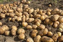plockning bra skörd av potatisar Kvinnan skördar potatisskörden Arkivfoto
