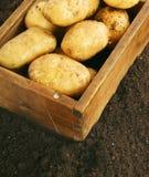 plockning En ny potatis i gammal ask på jord Royaltyfri Fotografi
