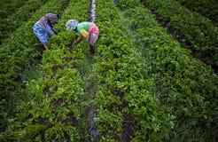 Plockning i en grönsaklantgård Royaltyfri Bild