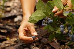 Plockningblåbärfrukt royaltyfria foton