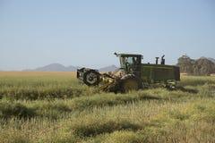 PlockningCanola på en söder - afrikansk lantgård Arkivfoto
