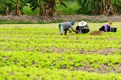 Plockninggrönsallat Arkivfoton