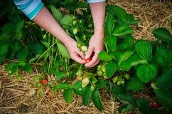 Plockningjordgubbar i fält Arkivbilder