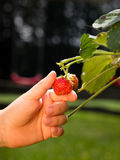 Plockningjordgubbefrukt Arkivfoton