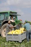 Plockningmelon på en spansk lantgård royaltyfria bilder