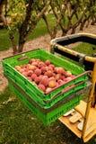 Plockningnektariner på fruktträdgården i Nya Zeeland Härlig saftig frukt behöver väljas denna sommar Royaltyfri Foto