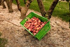 Plockningnektariner på fruktträdgården i Nya Zeeland Härlig saftig frukt behöver väljas denna sommar Royaltyfri Bild