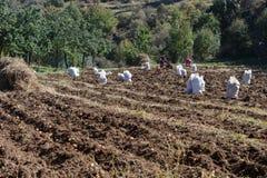 Plockningpotatisar på fält Rå potatisar under bygden och fälten Royaltyfri Fotografi