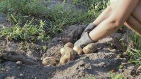 Plockningpotatoe på lantgården lager videofilmer