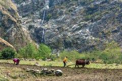 Ploga ett litet fält med en träplog och två tjurar på 29 Mars royaltyfri fotografi