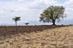 Plogade fält med brunt- och gulingjord, i fält växer enkla träd med enorma kronor Royaltyfri Fotografi