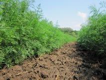Plogat fält för potatis i brun jord på den öppna bygdnaturen royaltyfria bilder