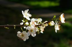 Plomb de floraison Photo stock