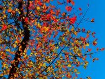 Plomb de pigeon d'automne Photo libre de droits