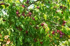 Plombs mûrs sur l'arbre Images libres de droits
