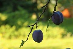Plombs sur l'arbre Photographie stock libre de droits