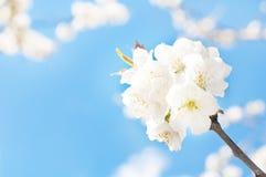 Plommon i blomning Arkivbild